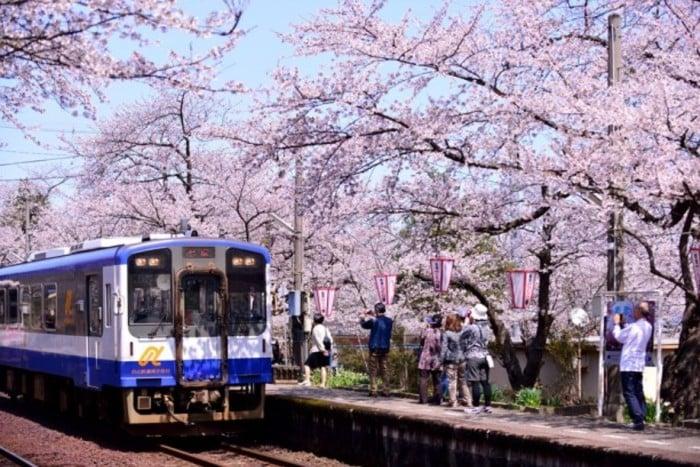 Ngắm hoa anh đào bằng cách đi tàu sakura