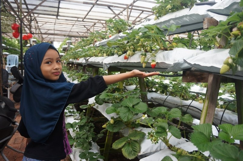 strawberry picking is one of the top things to do in cameron highlands