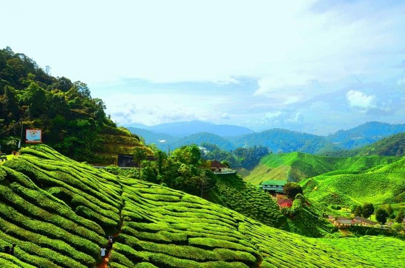 tea plantations of Cameron Highlands