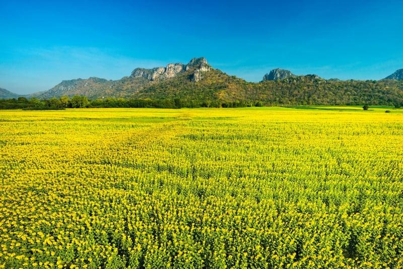 thailand sunflowers