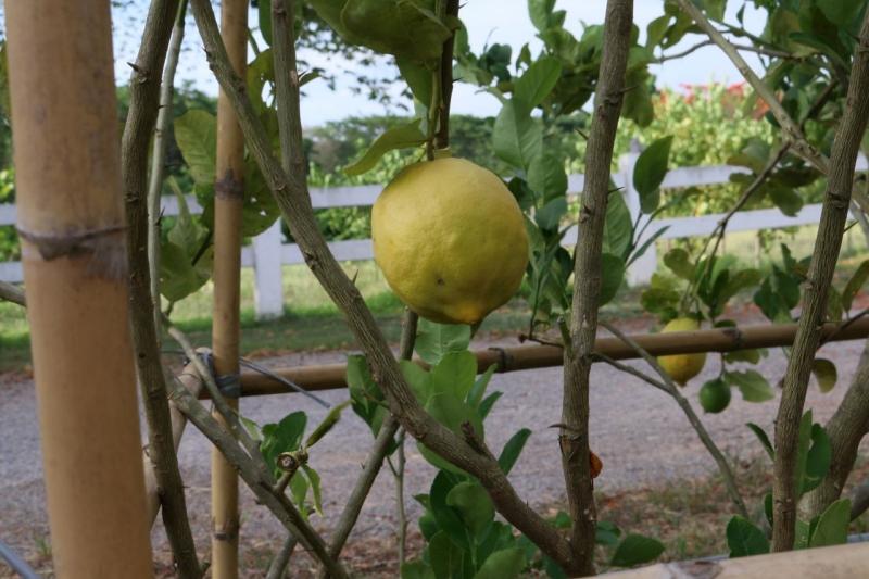 Pasutara lemons