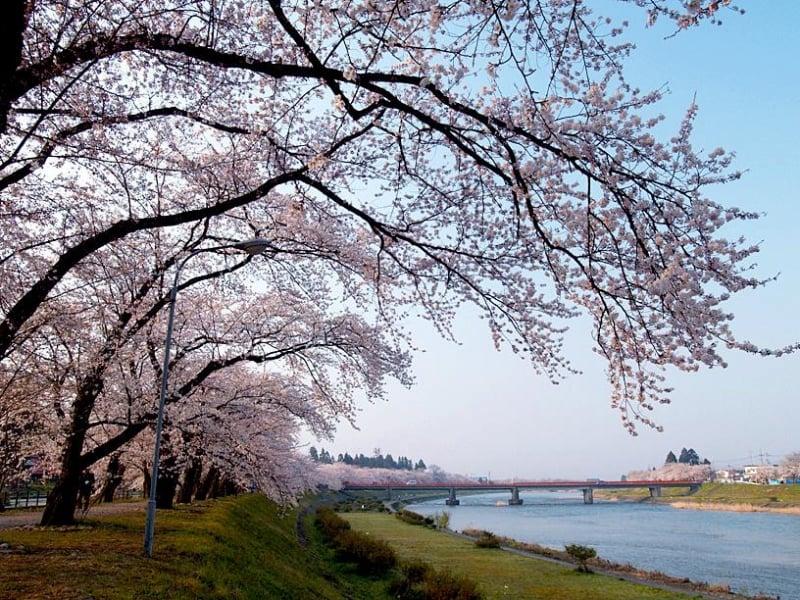 sakura at hinokinai river