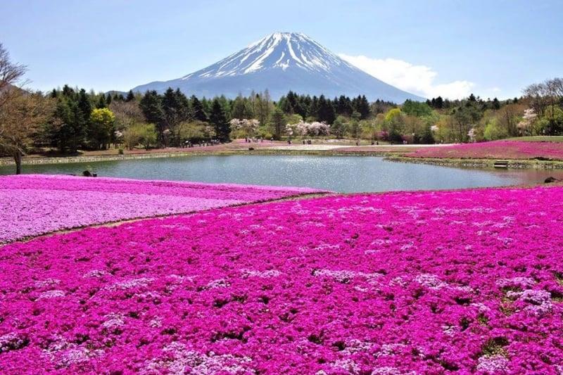 Flowers in Japan: Shibazakura