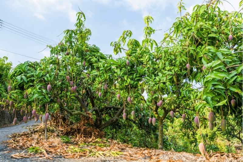 Mango Trees in Taiwan