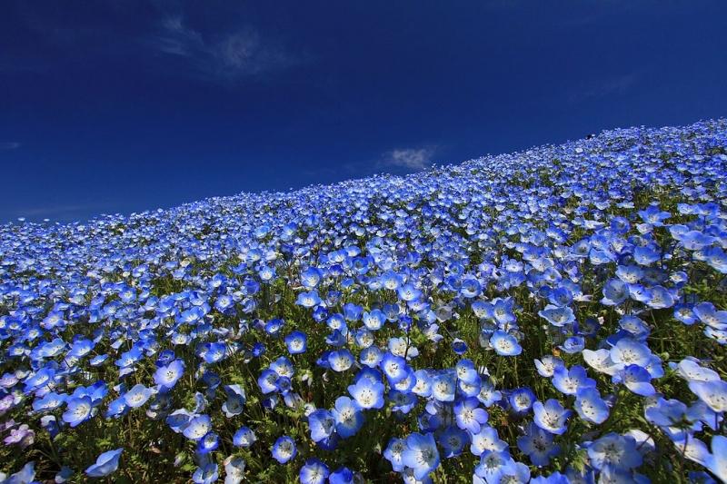 Flowers in Japan: Nemophilas