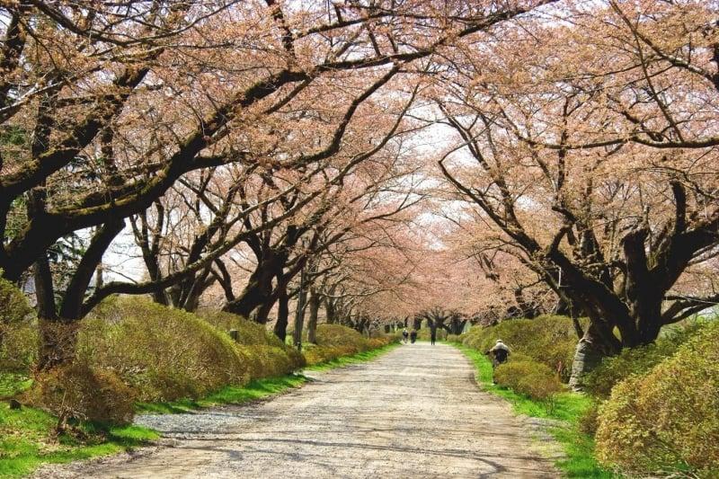 sakura at kitakami tenshochi park