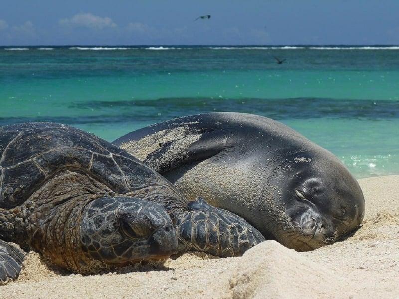 green sea turtle monk seal