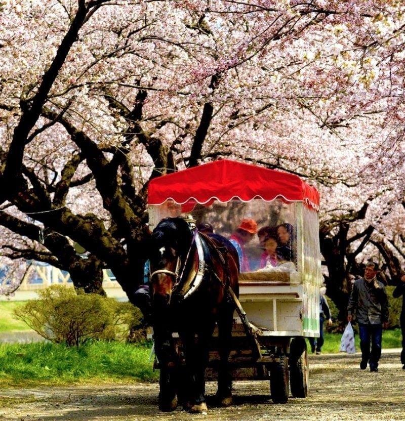 horse wagon ride through kitakami tenshochi park