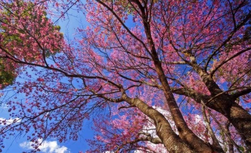 best cherry blossom thailand Baan Khun Chang Kian