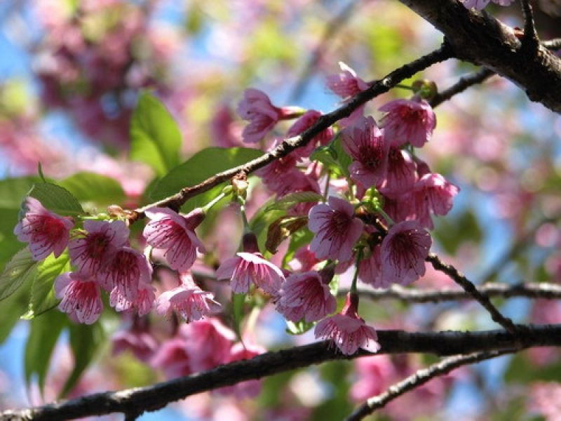 Ban Khun Chang Kian Village cherry blossom