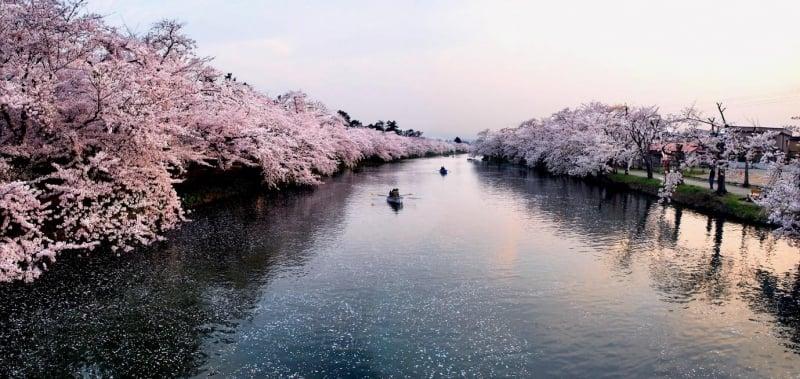 sakura at hirosaki castle park