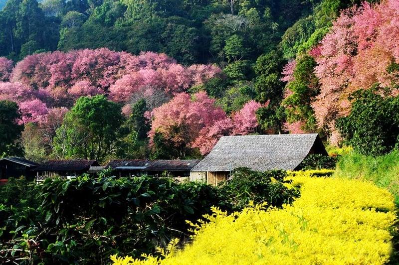 best cherry blossom thailand Ban Khun Chang Kian Village
