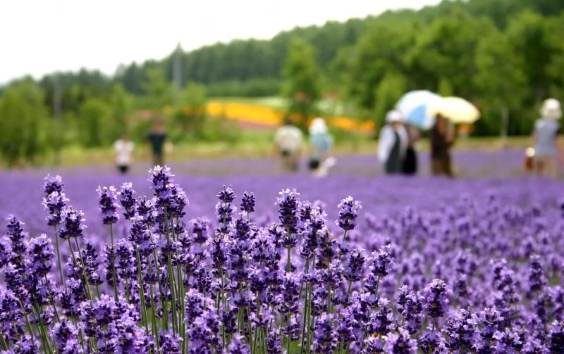farm tomita lavender field