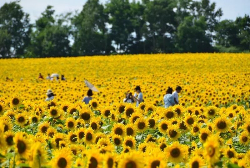 horyuku sunflower field