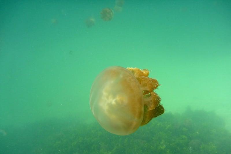 Bơi cùng sứa trên đảo Kakaban