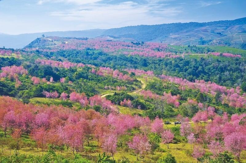 best cherry blossom thailand Phu Lom Lo