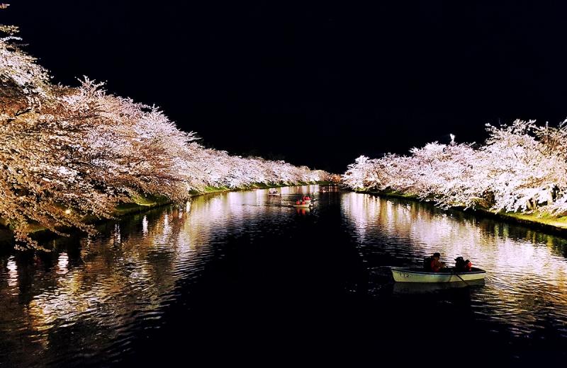sakura at hirosaki castle park illuminated at night