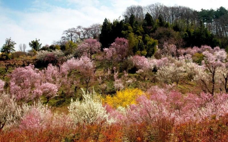 sakura at hanamiyama park