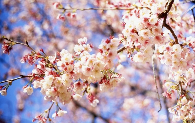 6 Insta-worthy Sakura Spots in Japan: Vibrant Blossoms, Snow-capped Mountains + More!
