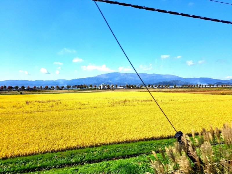 views of yellow rice fields from toreiyu tsubasa joyful train