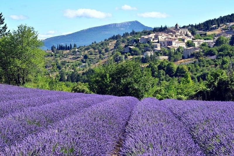 Provence Lavender