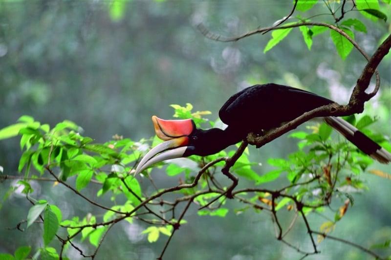 hornbill in sarawak