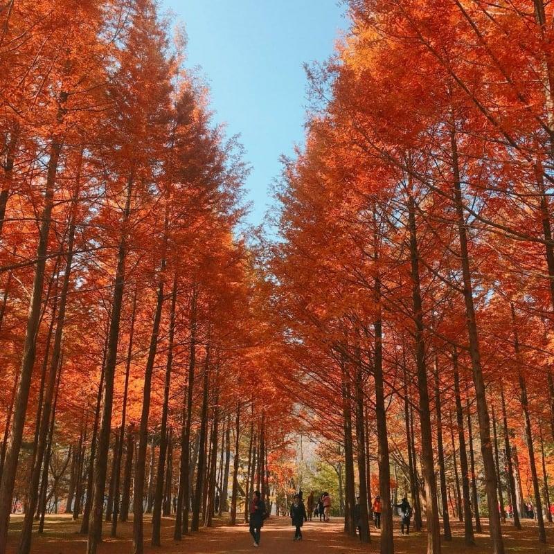 Nami Island in Autumn