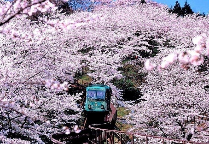 sakura tunnel at funaoka castle park