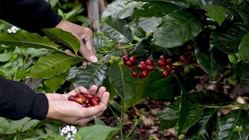 coffee farm philippines