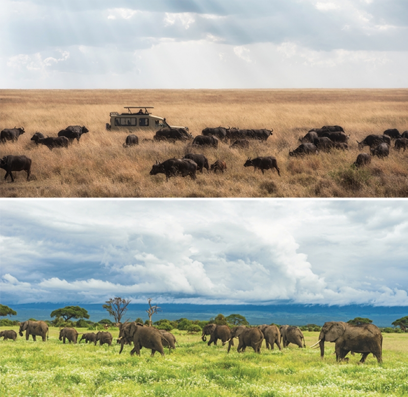 wildebeest and elephants migrating