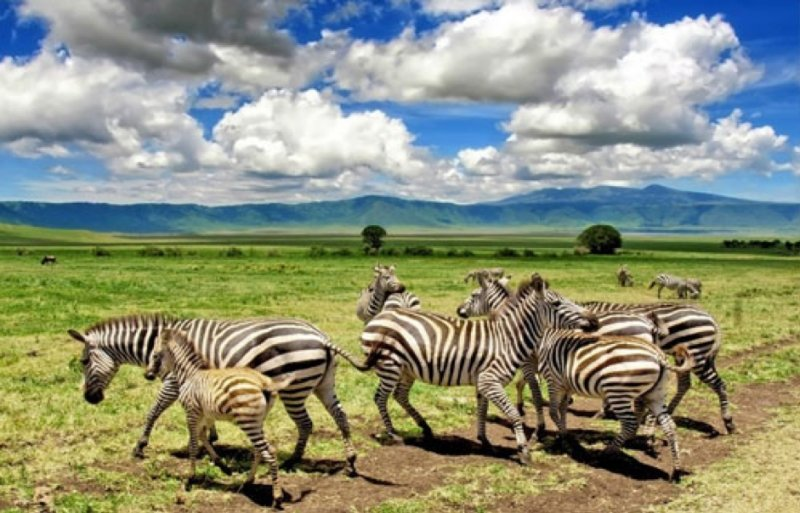 zebras on the grass plains of tanzania
