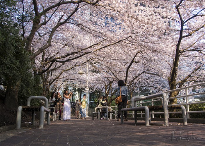 cherry blossoms beyond japan