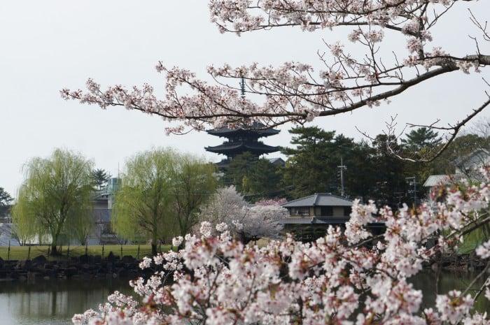 Ngắm hoa anh đào ở Nhật Bản