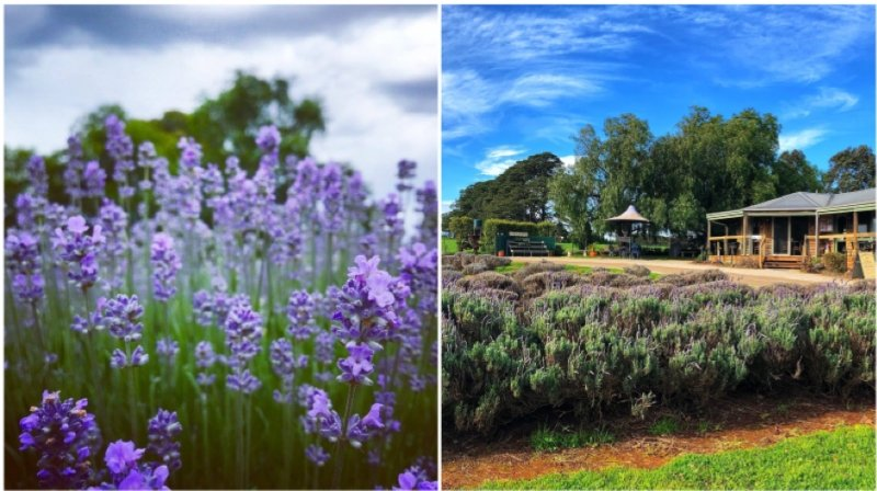 WARRATINA LAVENDER FARM