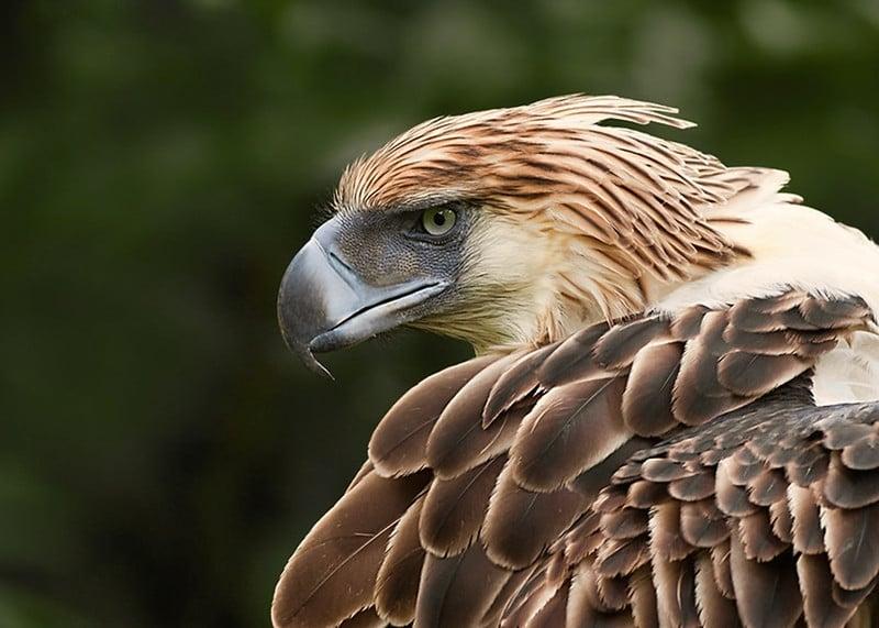 philippine eagle fun facts