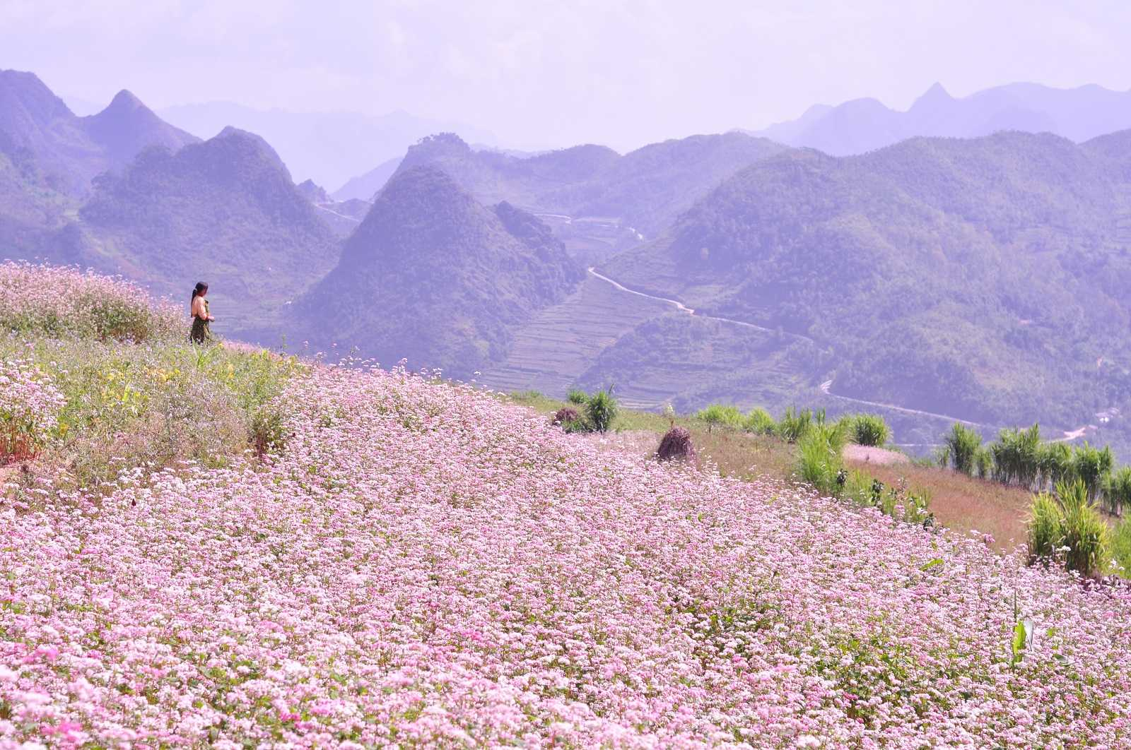 Stunning flower blooms where to see them in asia these beautiful flowers can be witnessed in bloom around late october and early november every year terrace upon terrace flourishes in the mountainous izmirmasajfo