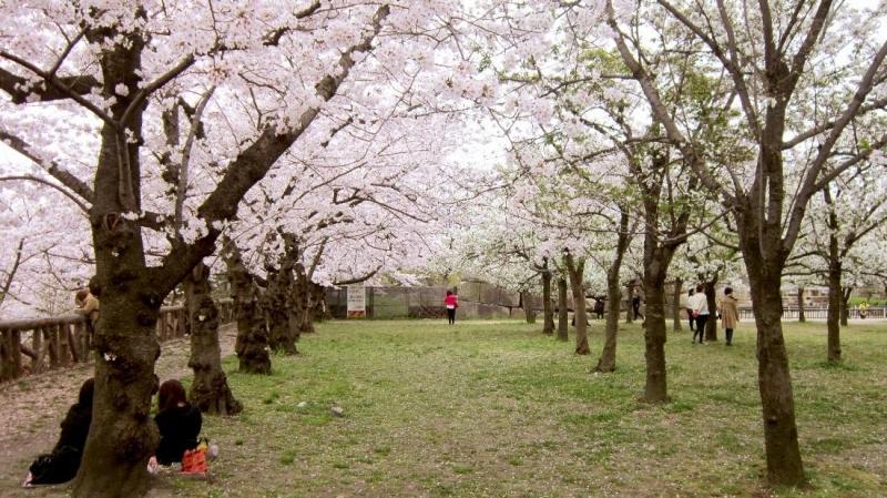 cherry blossom japan
