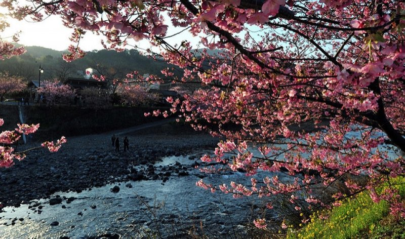 japan cherry blossom 2019 forecast