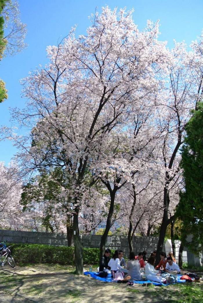 japan cherry blossom spots