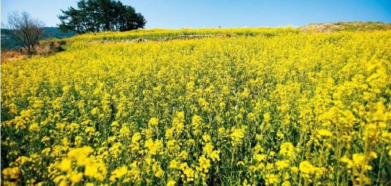 Cheongsando Island - rapeseed canola blooms