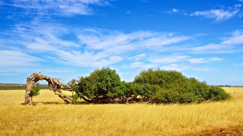 Leaning tree Western Australia