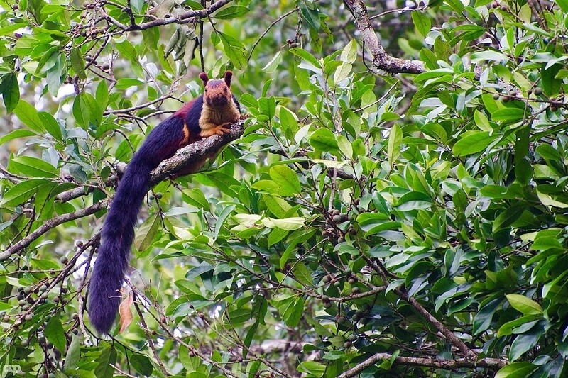 Wold's colourful animals: Indian Giant Squirrel