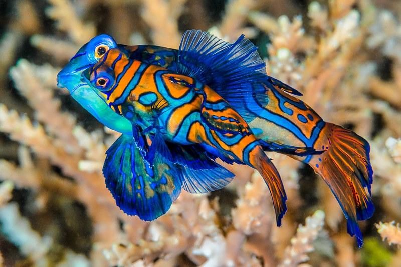 Most colourful animals: Peacock Mantis Shrimp