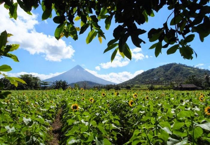 Ligao City sunflower farm