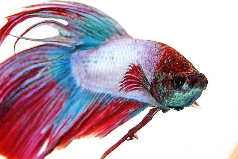 World's most colourful animals: Siamese Fighting Fish
