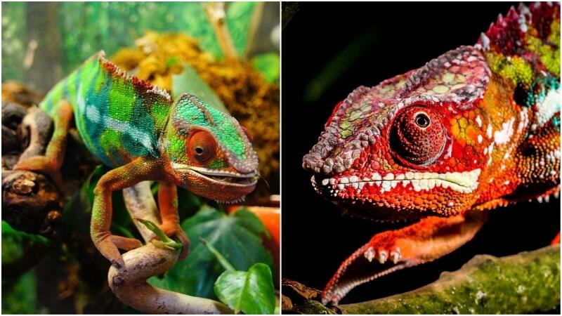 Most colourful animals: chameleons