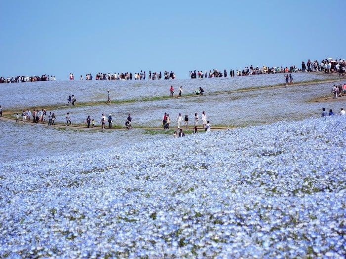 Nemophila flowers japan