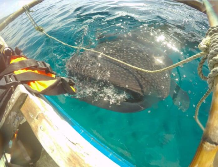 Whale Shark, Oslob, Cebu