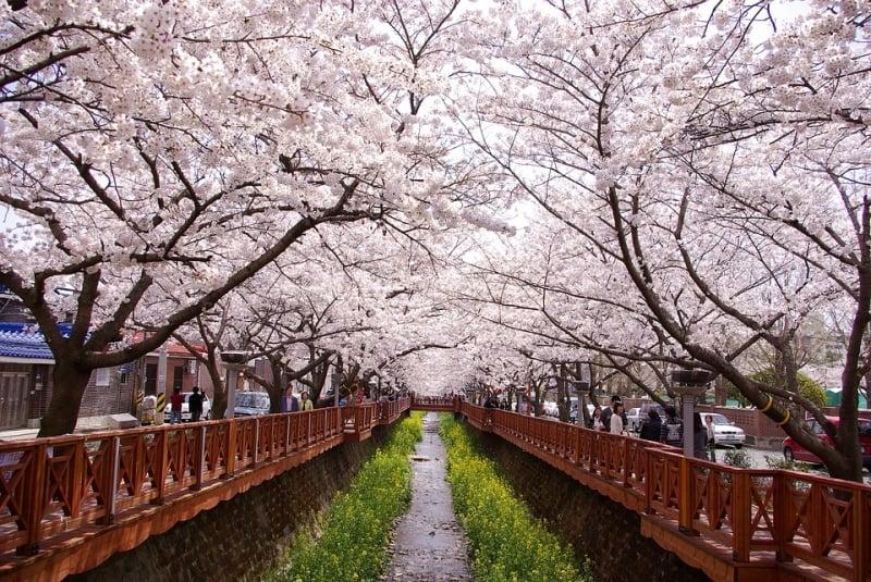 Mùa hoa anh đào Hàn Quốc 2020