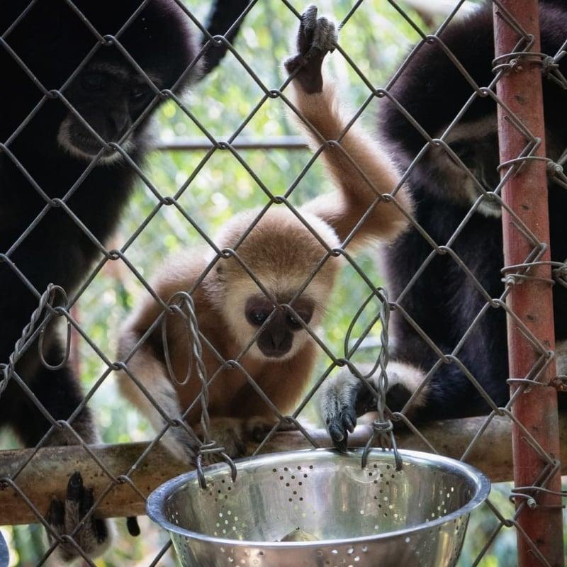 gibbon rehabilitation in phuket